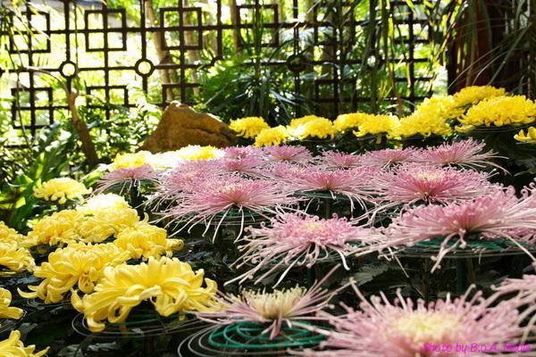 chrysanthemum_show109.JPG
