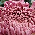 chrysanthemum_show122.JPG