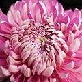chrysanthemum_show127.JPG