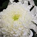 chrysanthemum_show128.JPG