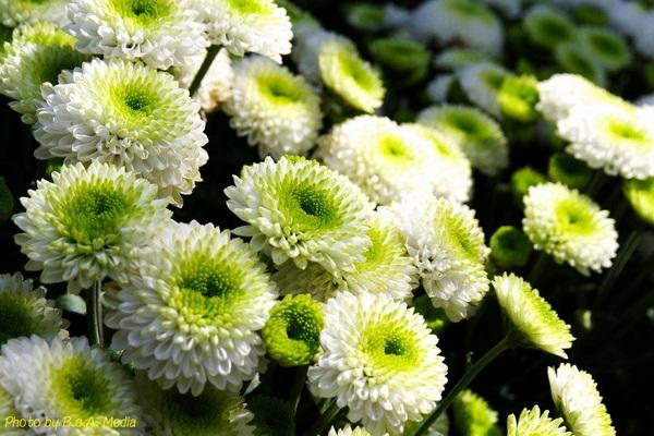 chrysanthemum_show131.JPG