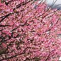 09_Sakura_I_0051.JPG