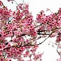 09_Sakura_I_0062.JPG