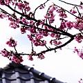09_Sakura_I_0073.JPG