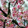 09_Sakura_I_0078.JPG