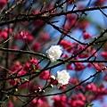 09_Sakura_I_0115.JPG