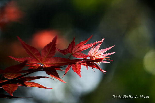 Maple_Leaves0006.JPG