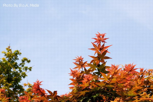 Maple_Leaves0008.JPG