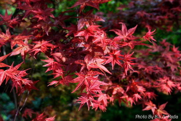 Maple_Leaves0013.JPG