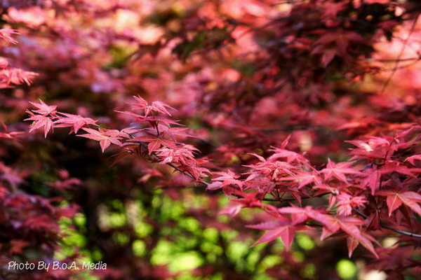 Maple_Leaves0043.JPG