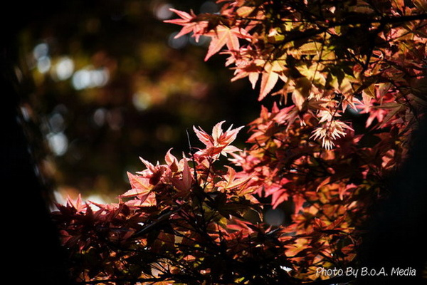 Maple_Leaves0054.JPG