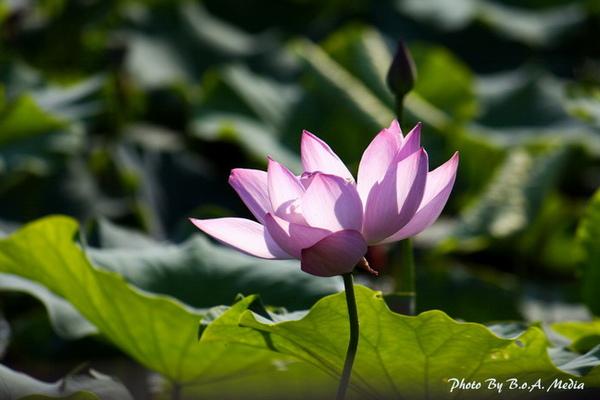 09_lotus_0014.JPG