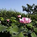 09_lotus_0016.JPG