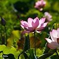 09_lotus_0026.JPG