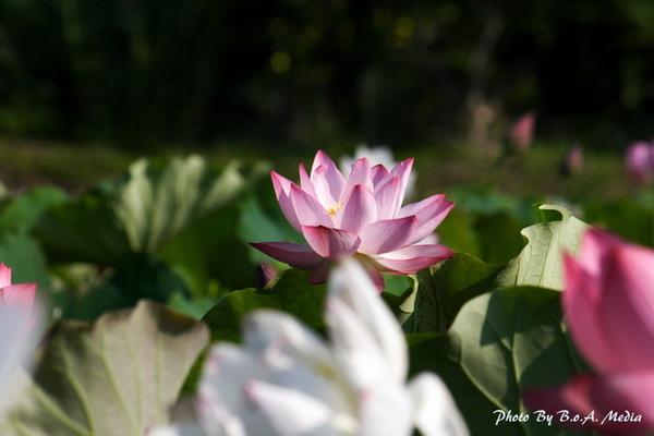 09_lotus_0033.JPG