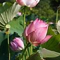 09_lotus_0050.JPG