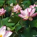 09_lotus_0068.JPG