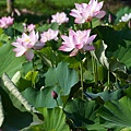 09_lotus_0073.JPG