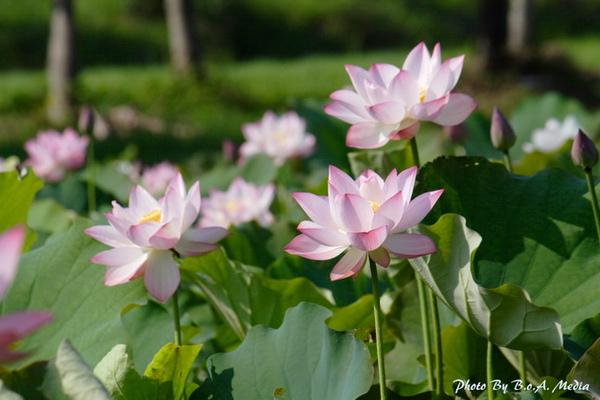 09_lotus_0076.JPG