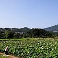 09_lotus_0078.JPG