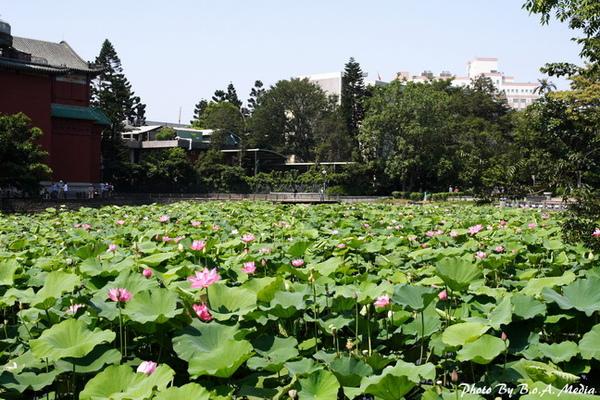 09_lotus_0099.JPG