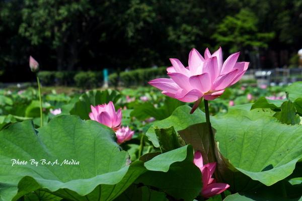 09_lotus_0103.JPG