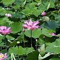 09_lotus_0104.JPG