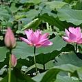 09_lotus_0109.JPG