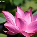 09_lotus_0129.JPG
