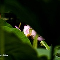 09_lotus_0133.JPG