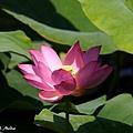 09_lotus_0136.JPG