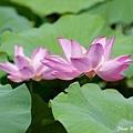 09_lotus_0146.JPG