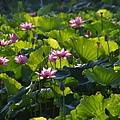 09_lotus_city0012.JPG