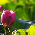 09_lotus_city0015.JPG