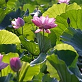 09_lotus_city0030.JPG
