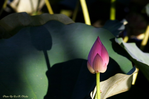 09_lotus_city0070.JPG
