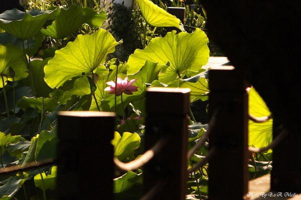 09_lotus_city0084.JPG