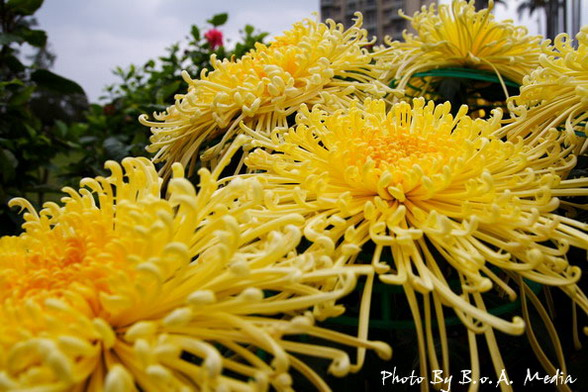 09_chrysanthemum_0007.JPG
