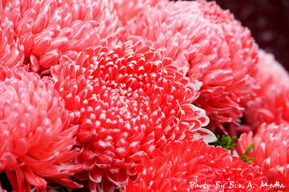 09_chrysanthemum_0013.JPG