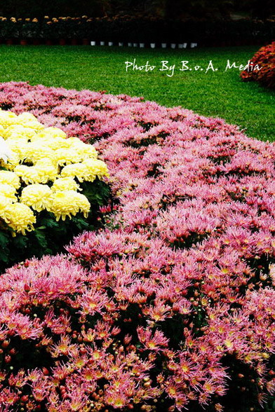 09_chrysanthemum_0050.JPG