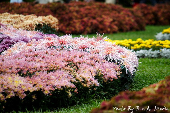 09_chrysanthemum_0052.JPG