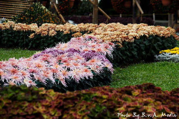 09_chrysanthemum_0058.JPG