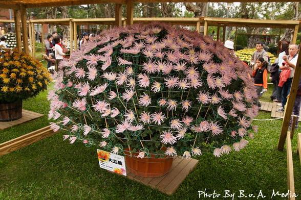 09_chrysanthemum_0083.JPG