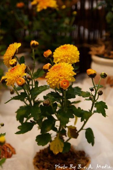 09_chrysanthemum_0088.JPG