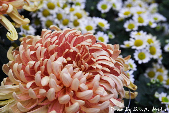 09_chrysanthemum_0112.JPG