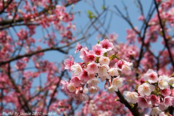 2010_Sakura_0001.JPG