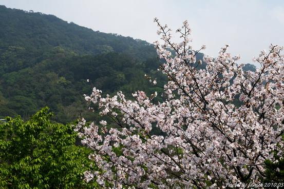 YongMing_Sakura_0002.JPG