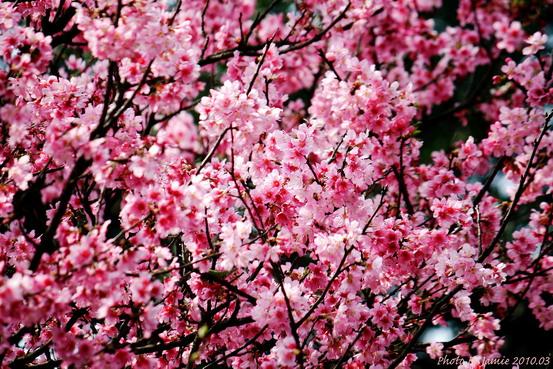 YongMing_Sakura_0011.JPG