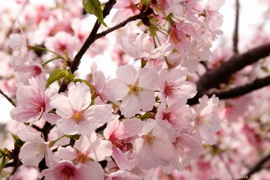 YongMing_Sakura_0024.JPG