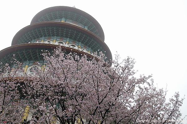 Tian_yang_sakura0032.JPG